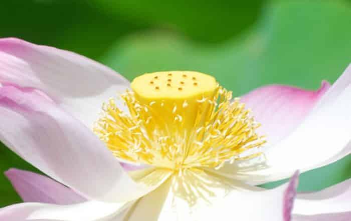 Coeur de lotus, Nelumbo nucifera © Tahiti Heritage / Olivier Babin