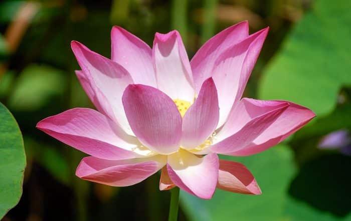 Lotus rose ouvert, Nelumbo nucifera. © Tahiti Heritage / Olivier Babin
