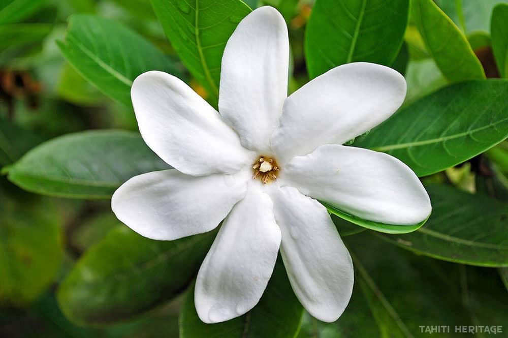 tiare tahiti la fleur symbole de tahiti tahiti heritage. Black Bedroom Furniture Sets. Home Design Ideas